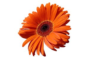 Orange gerbera flower vector