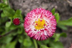 Strawflower. Field flower.