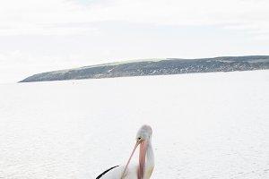 Australian Pelican Bird & Starfish