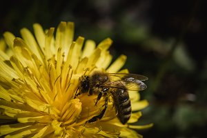 Closeup of Bee on Dandelion