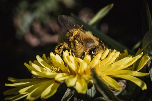Closeup of Bee on Dandelion