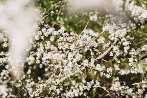 White Blossoms in Spring
