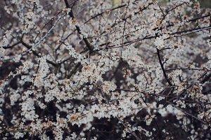 Spring Texture (White Blossom)