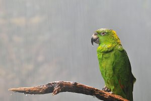 Yellow-naped Amazon parrot