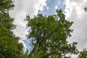 large tree with sky