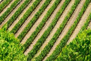 Vineyard lines view