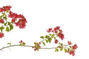 Santa Rita Flowers Isolated
