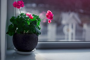Red flowers in pots on the white windowsill. Concept: Spring is coming.