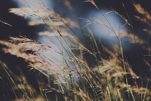 Wild Grass in the Sunshine