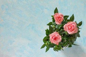 Beautiful fresh pink rose flowers