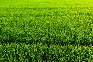 green grass rice texture
