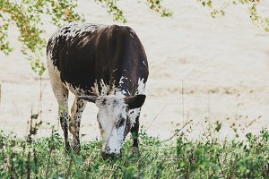 Nguni cow eating grass