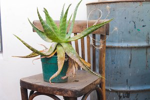 Aloe Vera in a Vintage Chair