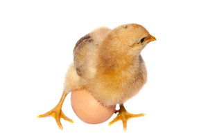 Cute little chicken with egg isolated on white background