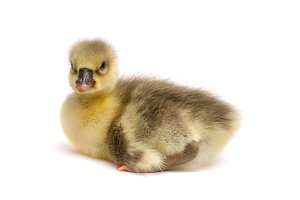 one little gosling isolated on white background