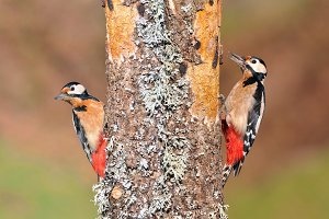 Two great spotted woodpecker