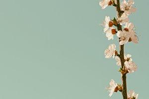 Apricot blossom in retro style