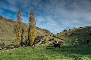 Cattle grazing NewZealand
