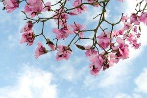 Magnolias in the sky