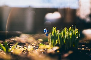 Small blue flower and grass
