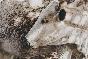 Nguni Cow Grooming