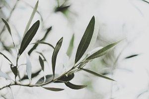 Wild Olive Leaves