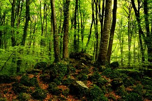 forest of beeches in full spring