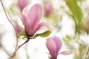 Tender beauty of magnolia