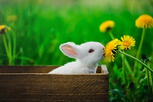A small rabbit eating a dandelion