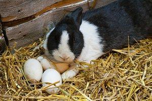 Rabbit and eggs