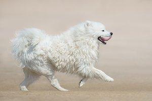 White fluffy dog of breed Samoyed.