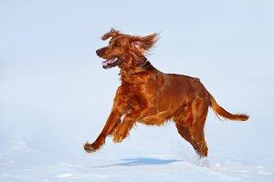 Hunting dog Irish Red setter