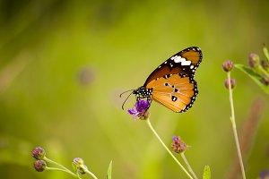 Bush Butterfly