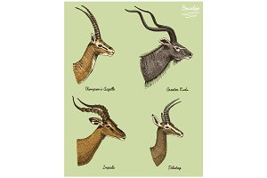 antelopes greater kudu, gazelle thompsons, dibatag and impala vector hand drawn illustration, engraved wild animals with antlers or horns vintage looking heads side view