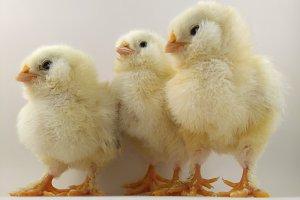 Chick trio called Salmon Faverolles