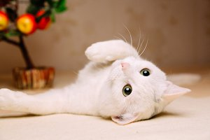 Playful white cat lying belly up