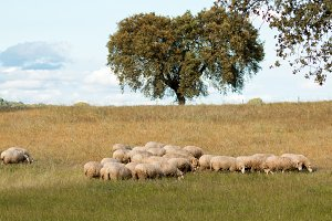 Sheeps in the meadow