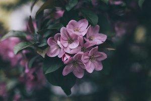 Apple-tree #4
