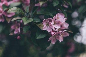 Apple-tree #5