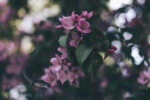 Apple-tree #6