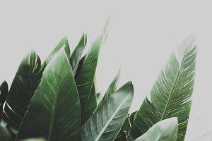Green Leaves of Strelitzia