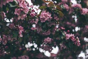 Apple-tree #8