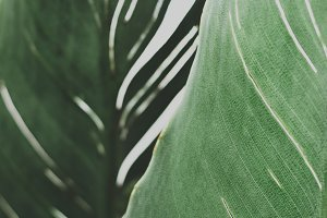 Closeup of Strelitzia Leaf