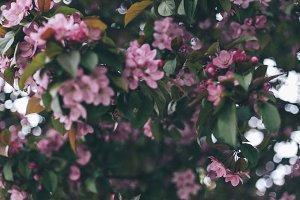 Apple-tree #9