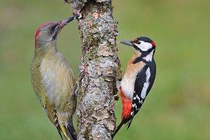 Woodpeckers.
