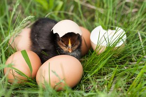 baby chicken with broken eggshell and eggs in the green grass