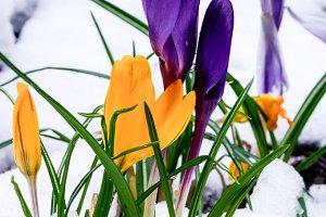 Yellow and purple crocus flowers