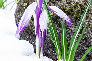 Crocus flower in spring snow
