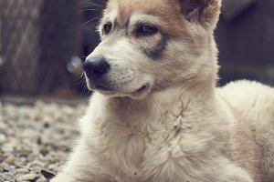 Northern Inuit Puppy 4