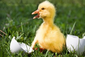 Cute little domestic gosling with broken egg in green grass